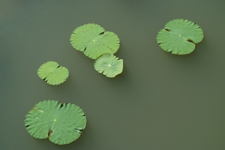 The lotus leaf is on a green water
