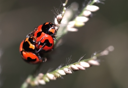 A beautiful ladybugs are mating on flower of grass. Stock Photo