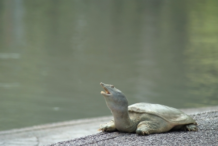 snapping turtle:  A snapping turtle  was  sunbathers on the edge of the pool.