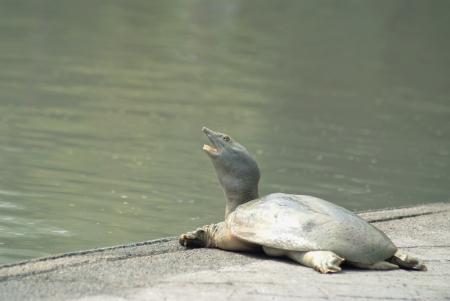 A snapping turtle  was  sunbathers on the edge of the pool.