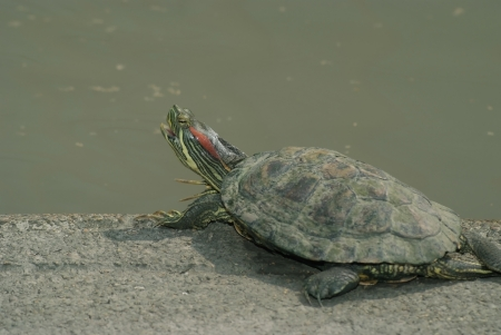 A turtle  was  sunbathers on the edge of the pool.