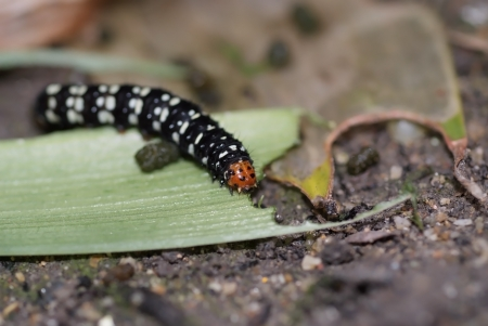 A butterfly worm eating leaf on the ground