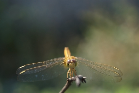 A golden dragonfly is perched on twigs in the field photo