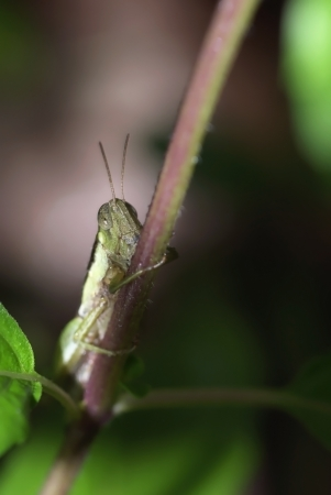 A grasshopper ensconce under herb tree photo