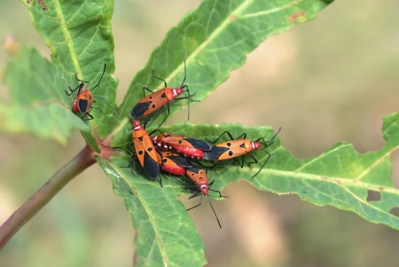 insidious: a beautiful pests are live and eat on leaf of vegetable Stock Photo