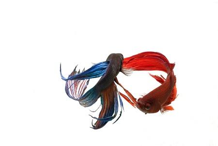 A beautiful fighting fish on white background Stock Photo - 19354506