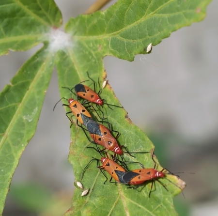 insidious: A beautiful pests are mating on roselle leaf