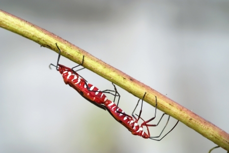 insidious: A beautiful pests are mating on branch of roselle tree Stock Photo