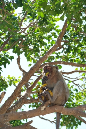 Monkey eating banana on the tree photo