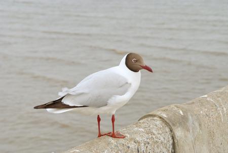 A beautiful seagull perched on the bridge railing Stock Photo