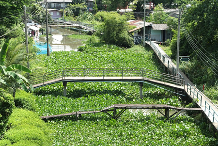 A lot of water hyacinth in the canals at countryside,Thailand