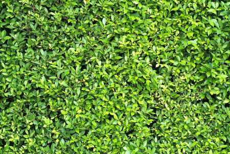 A pattern and texture of pretty hedge