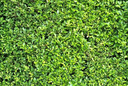 Een patroon en textuur van mooie hedge