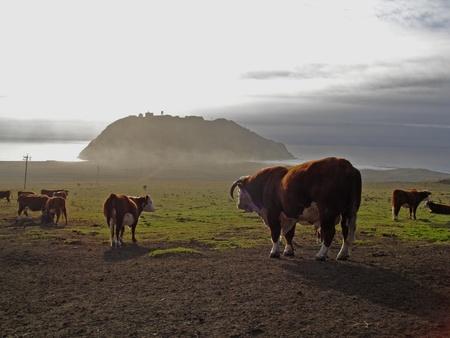 big sur: Big Sur cows