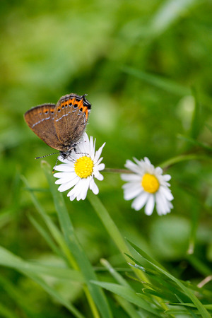 butterfly on daisy photo