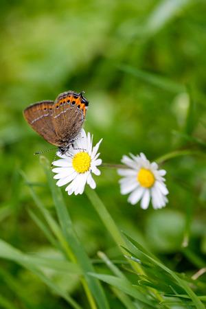 butterfly on daisy photo