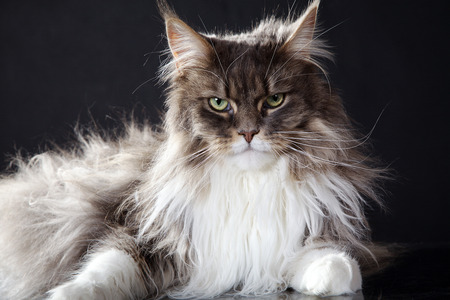 lying main coon cat looks cool in camera photo