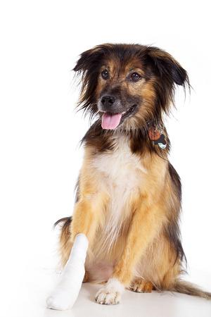 schöner Hund mit Verband mit der Tatze