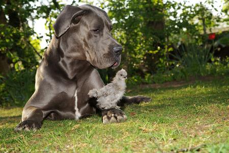 beautiful gray Great Dane dog with gray chick
