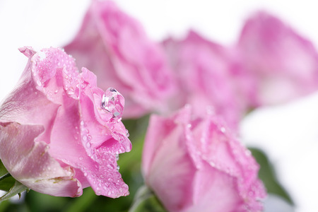 margerite: pink rose with water drops and diamond Stock Photo