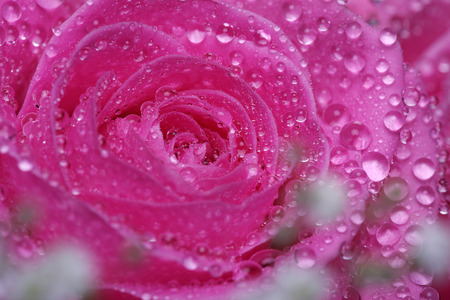 margerite: pink rose with water drops close up