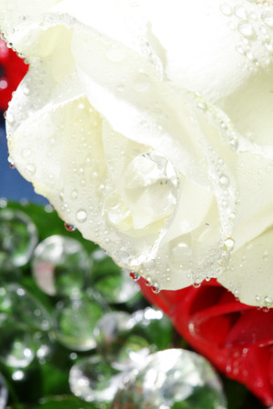 margerite: yellow rose with water drops close up
