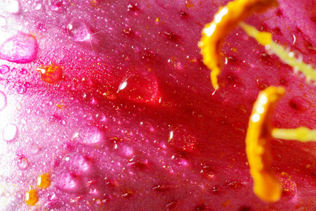 margerite: pink flower with water drops close up Stock Photo