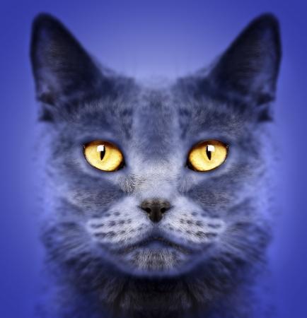 Closeup of a british short hair cat
