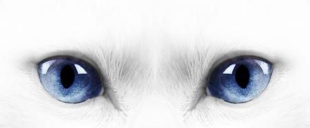 White angora cat with blue eyes