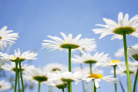 Beautiful daisies field against the sky