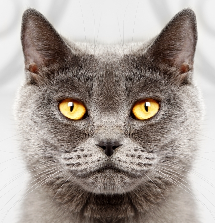 macro animals: Closeup of a british short hair cat  Stock Photo