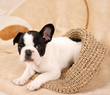 French bulldog puppy, six weeks old photo