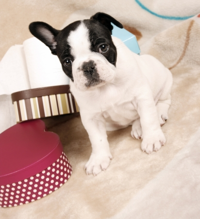 pet grooming: French bulldog puppy, six weeks old