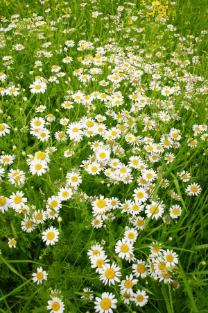A beautiful daisies field in spring light photo