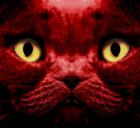 Closeup of a british short hair cat Stock Photo - 18166696