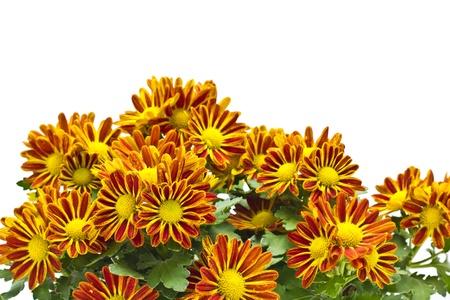 Chrysanthemum morifolium Stock Photo