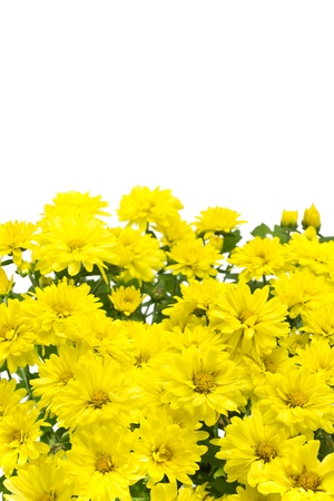 Isolated yellow flowers Stock Photo - 12329347