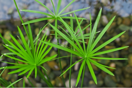 the papyrus plant in water Stock Photo