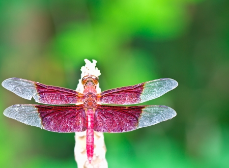 A red dragonfly in rest green background photo