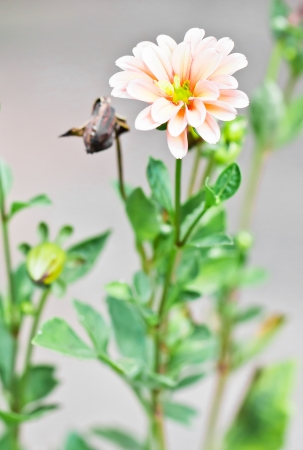 a photo of Dahlia flower in garden photo