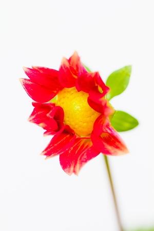 Dahlia Flower on white background Stock Photo - 14422827