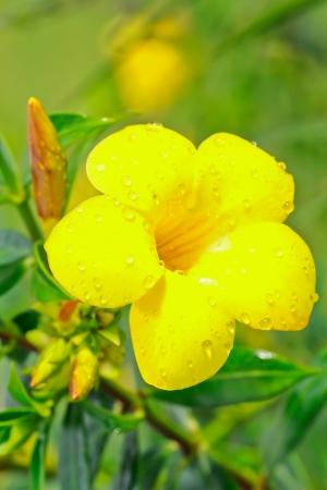 dipladenia: Dipladenia fiore giallo Mandevilla con la rugiada