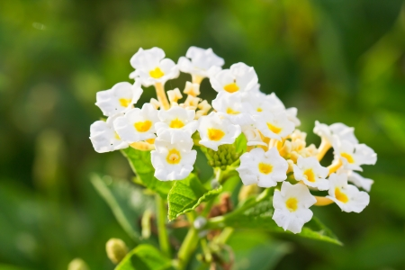 A close up of a pink and yellow lantana camara flower in the garden Stock Photo - 14569390