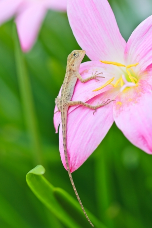 a photo of reptile on rain lily flower photo