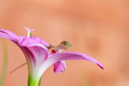 a photo of reptile on rain lily flower