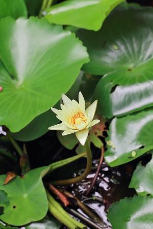 Peach Lotus Stock Photo - 14844180