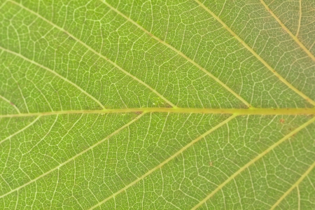 close-up of green leaf for texture background used Stock Photo - 14844202