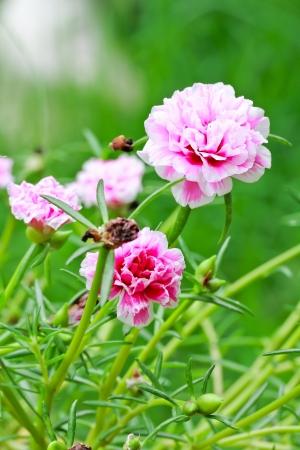 a photo of portulaca flower in the garden photo