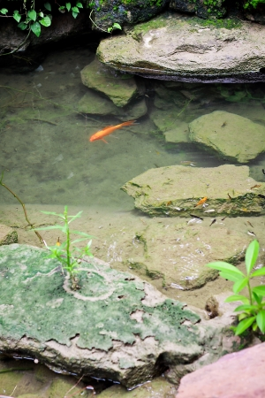 lotus and little gold fish in pond photo