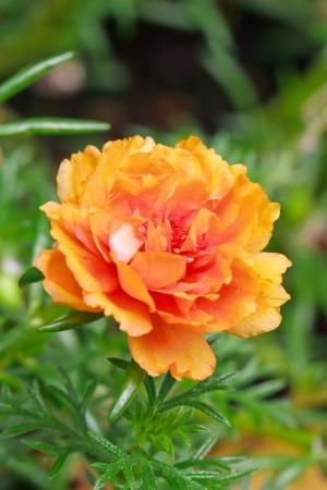 portulaca flower in the garden photo